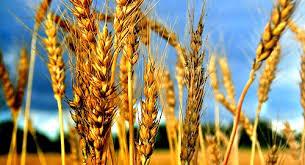 Нема поддршка за одгледувачите на пченица: Пченицата е неисплатлива и ќе исчезне од нивите