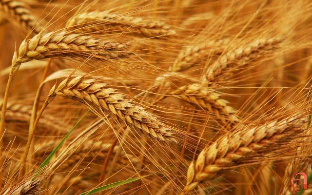 Зголемени субвенции за одгледување пченица со новите мерки на Владата