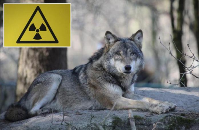 Научниците со право се плашат од волците од Чернобил
