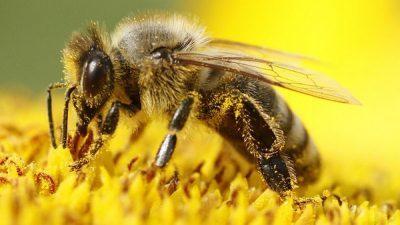 Нов бизнис со пчелен отров со балканот:.Вреди повеќе од злато, а пропаѓа, Србите го продаваат за 70.000 евра