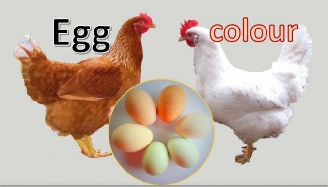 Бели и кафени јајца