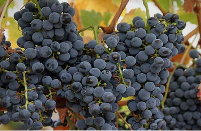 Во тек аплицирањето на лозарите за добивање еден денар по килограм предадено грозје во регистрирани Винарски визби